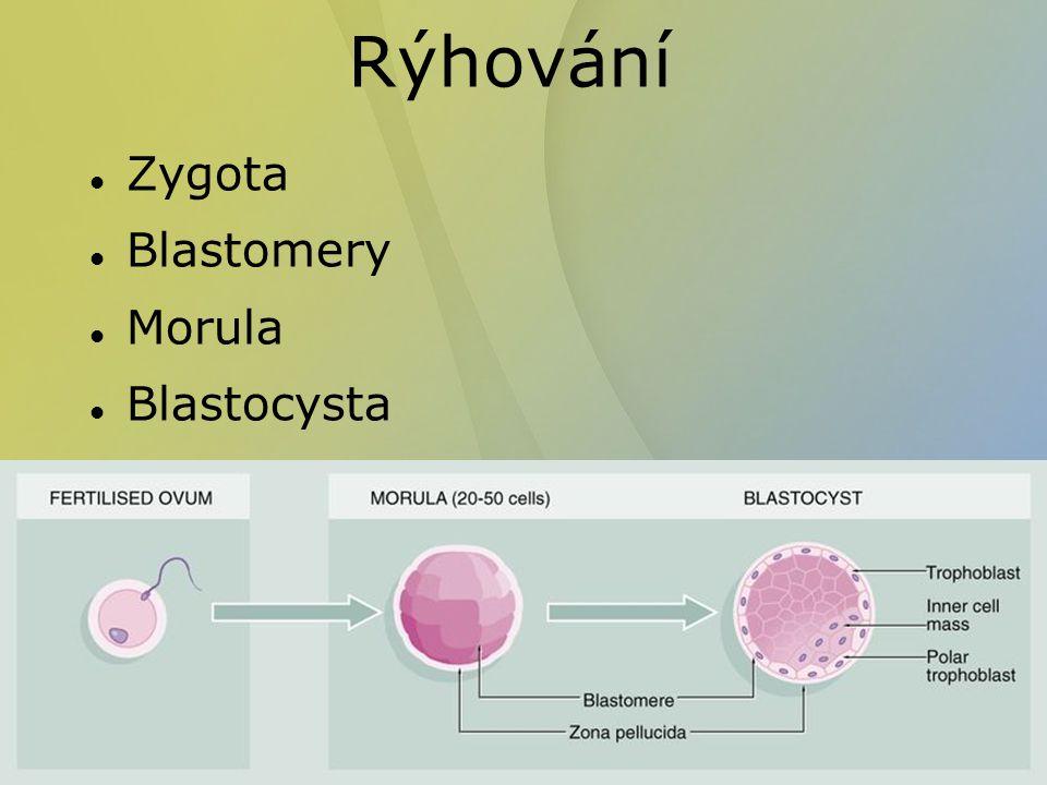 Rýhování Zygota Blastomery Morula Blastocysta