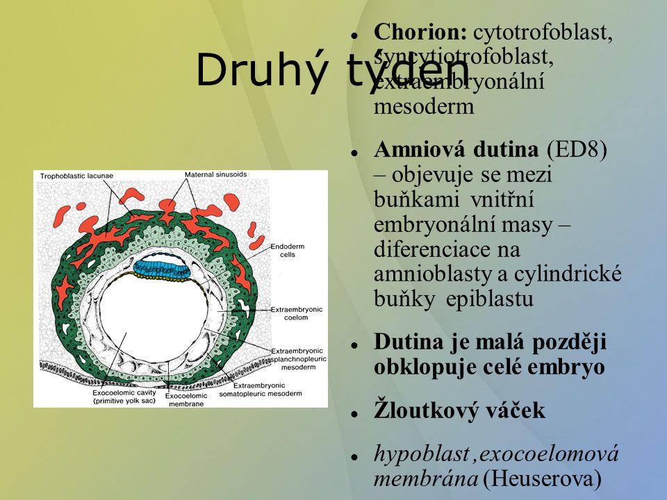 Druhý týden Chorion: cytotrofoblast, syncytiotrofoblast, extraembryonální mesoderm Amniová dutina (ED8) – objevuje se mezi buňkami vnitřní embryonální