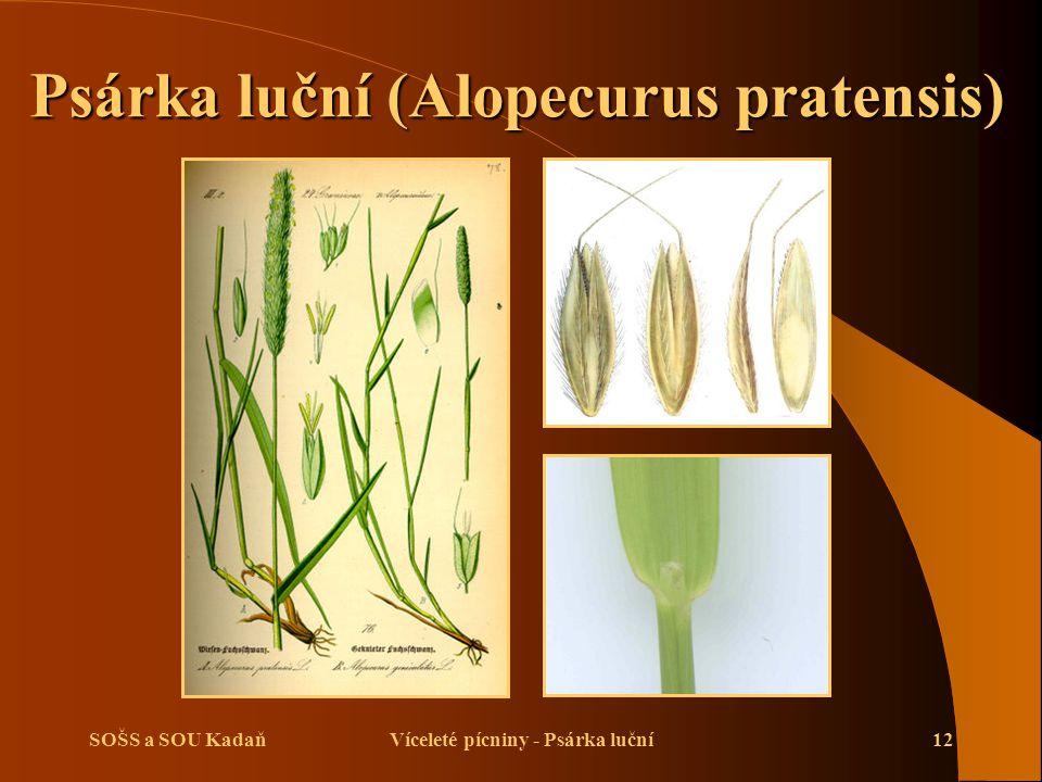 SOŠS a SOU KadaňVíceleté pícniny - Psárka luční12 Psárka luční (Alopecurus pratensis)