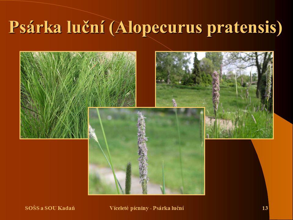 SOŠS a SOU KadaňVíceleté pícniny - Psárka luční13 Psárka luční (Alopecurus pratensis)