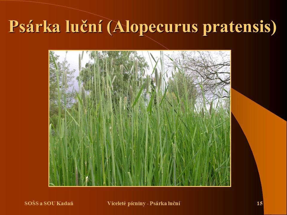 SOŠS a SOU KadaňVíceleté pícniny - Psárka luční15 Psárka luční (Alopecurus pratensis)