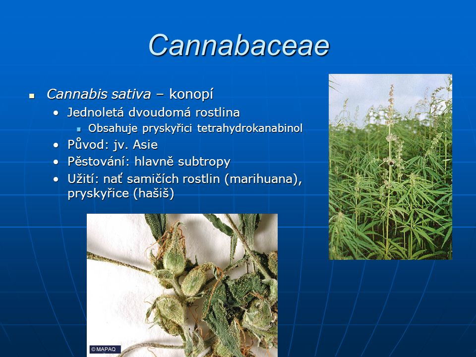 Cannabaceae Cannabis sativa – konopí Cannabis sativa – konopí Jednoletá dvoudomá rostlinaJednoletá dvoudomá rostlina Obsahuje pryskyřici tetrahydrokanabinol Obsahuje pryskyřici tetrahydrokanabinol Původ: jv.