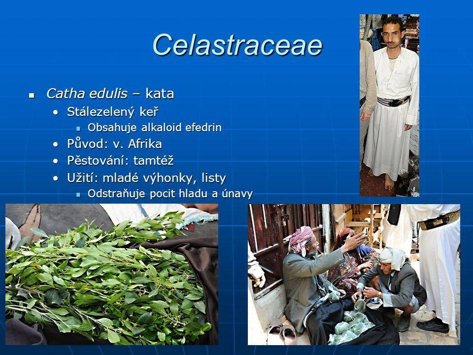 Celastraceae Catha edulis – kata Catha edulis – kata Stálezelený keřStálezelený keř Obsahuje alkaloid efedrin Obsahuje alkaloid efedrin Původ: v.