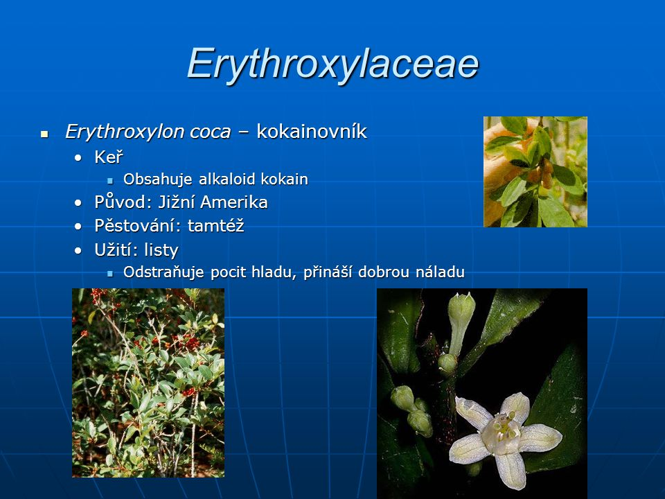 Erythroxylaceae Erythroxylon coca – kokainovník Erythroxylon coca – kokainovník KeřKeř Obsahuje alkaloid kokain Obsahuje alkaloid kokain Původ: Jižní AmerikaPůvod: Jižní Amerika Pěstování: tamtéžPěstování: tamtéž Užití: listyUžití: listy Odstraňuje pocit hladu, přináší dobrou náladu Odstraňuje pocit hladu, přináší dobrou náladu