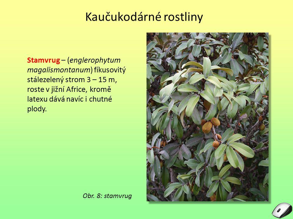 Stamvrug – (englerophytum magalismontanum) fíkusovitý stálezelený strom 3 – 15 m, roste v jižní Africe, kromě latexu dává navíc i chutné plody. Obr. 8