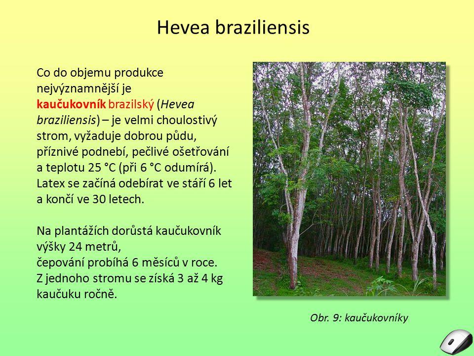 Hevea braziliensis Co do objemu produkce nejvýznamnější je kaučukovník brazilský (Hevea braziliensis) – je velmi choulostivý strom, vyžaduje dobrou pů