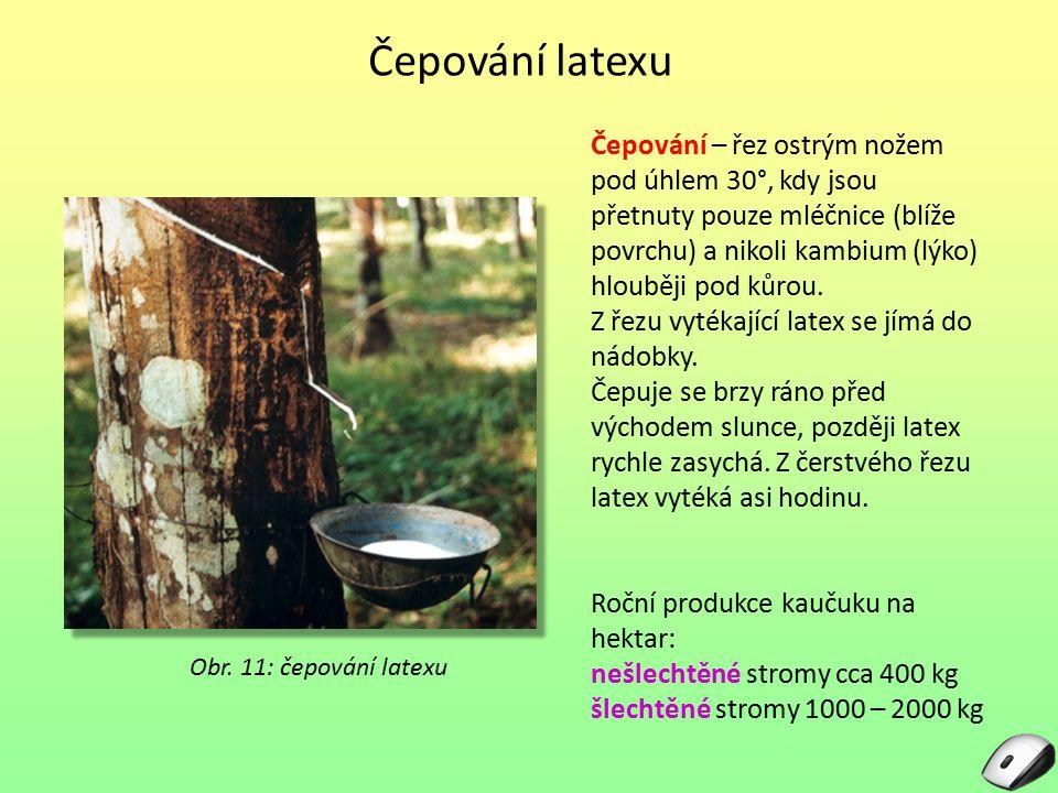 Čepování latexu Obr. 11: čepování latexu Čepování – řez ostrým nožem pod úhlem 30°, kdy jsou přetnuty pouze mléčnice (blíže povrchu) a nikoli kambium