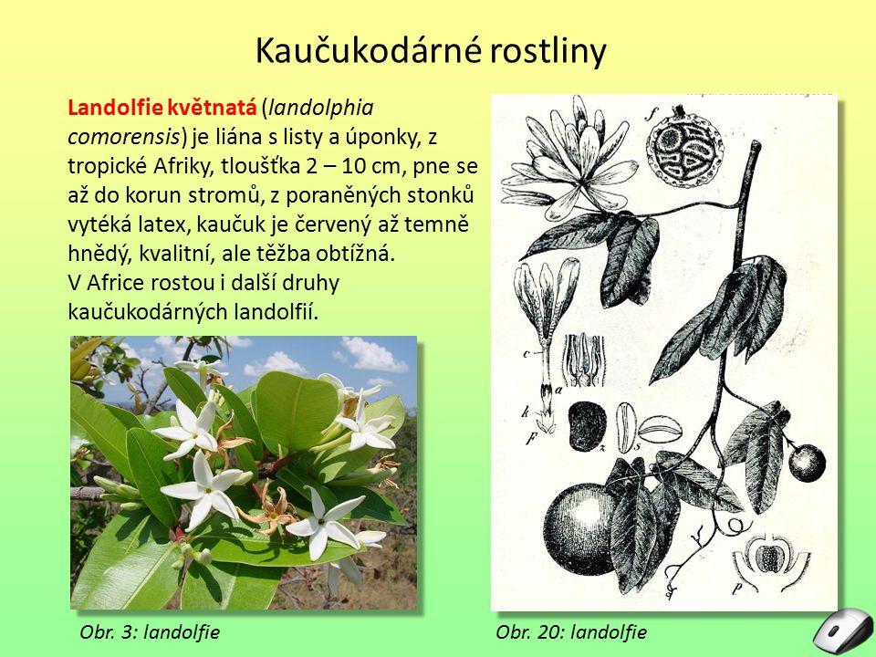 Obr. 3: landolfie Landolfie květnatá (landolphia comorensis) je liána s listy a úponky, z tropické Afriky, tloušťka 2 – 10 cm, pne se až do korun stro