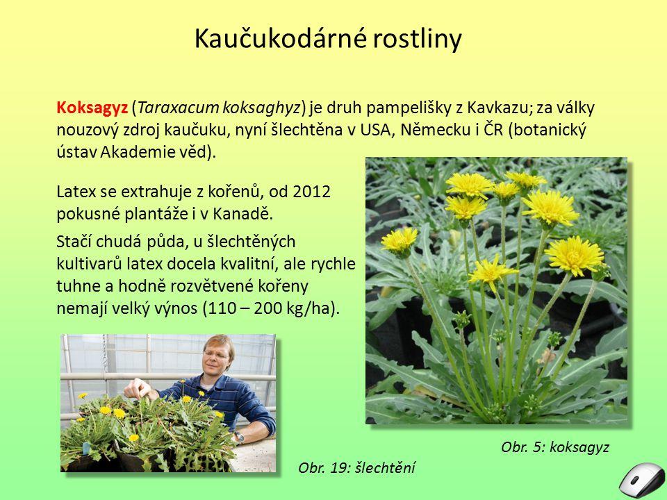 Obr. 5: koksagyz Koksagyz (Taraxacum koksaghyz) je druh pampelišky z Kavkazu; za války nouzový zdroj kaučuku, nyní šlechtěna v USA, Německu i ČR (bota