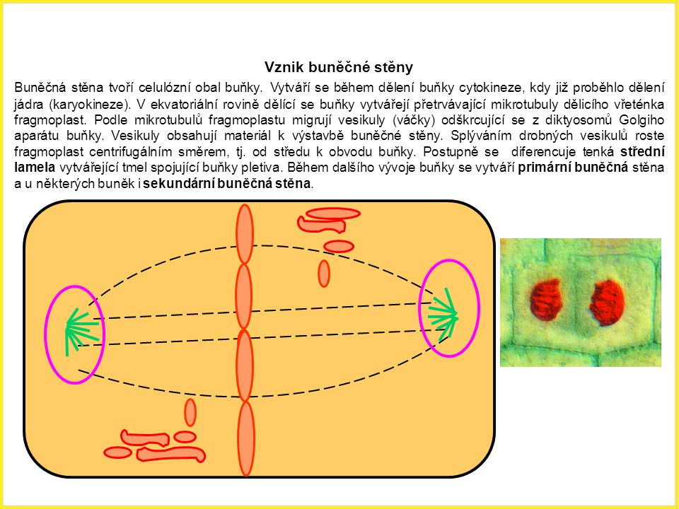 Vznik buněčné stěny Buněčná stěna tvoří celulózní obal buňky. Vytváří se během dělení buňky cytokineze, kdy již proběhlo dělení jádra (karyokineze). V