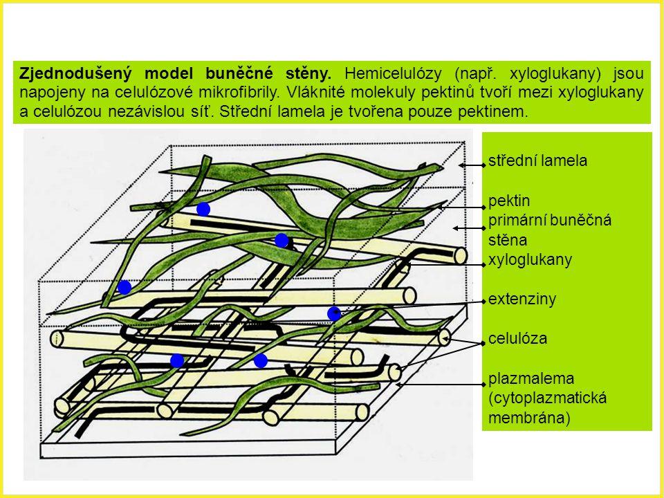 Zjednodušený model buněčné stěny. Hemicelulózy (např. xyloglukany) jsou napojeny na celulózové mikrofibrily. Vláknité molekuly pektinů tvoří mezi xylo