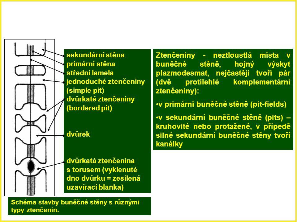 Schéma stavby buněčné stěny s různými typy ztenčenin. sekundární stěna primární stěna střední lamela jednoduché ztenčeniny (simple pit) dvůrkaté ztenč