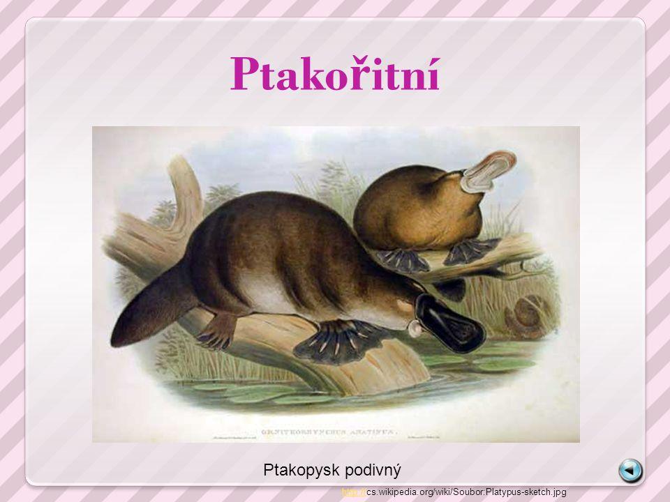 Ptako ř itní http://http://cs.wikipedia.org/wiki/Soubor:Platypus-sketch.jpg Ptakopysk podivný