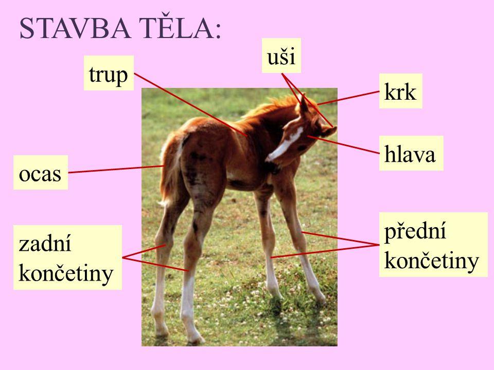 STAVBA TĚLA: zadní končetiny ocas trup uši krk hlava přední končetiny