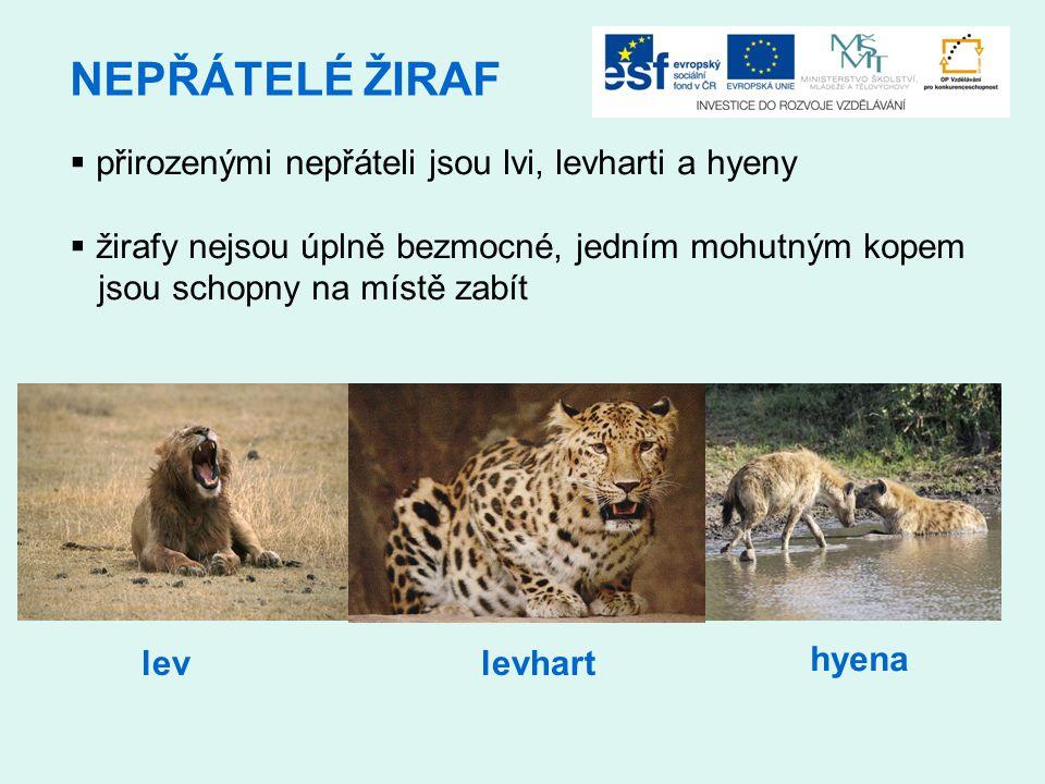 NEPŘÁTELÉ ŽIRAF  přirozenými nepřáteli jsou lvi, levharti a hyeny  žirafy nejsou úplně bezmocné, jedním mohutným kopem jsou schopny na místě zabít levlevhart hyena