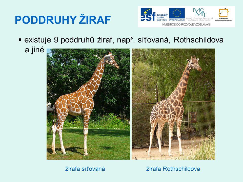 PODDRUHY ŽIRAF  existuje 9 poddruhů žiraf, např. síťovaná, Rothschildova a jiné žirafa síťovanážirafa Rothschildova