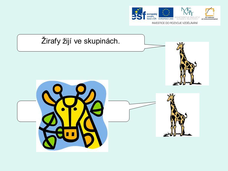 Žirafy žijí v párech. Žirafy žijí ve skupinách.