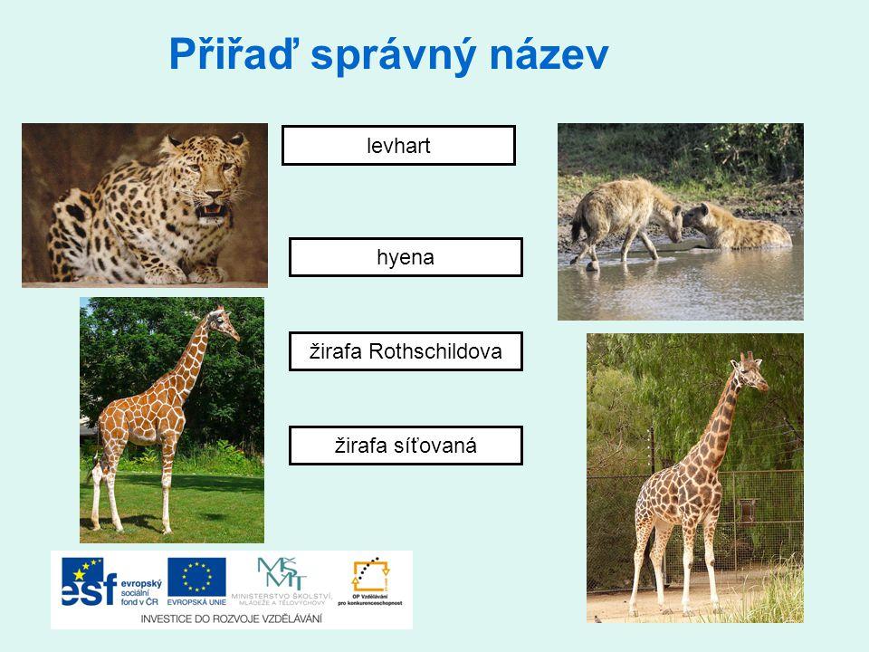 Přiřaď správný název levhart hyena žirafa Rothschildova žirafa síťovaná