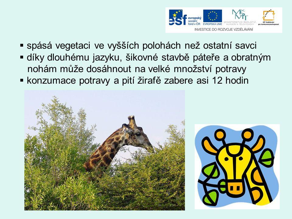  spásá vegetaci ve vyšších polohách než ostatní savci  díky dlouhému jazyku, šikovné stavbě páteře a obratným nohám může dosáhnout na velké množství potravy  konzumace potravy a pití žirafě zabere asi 12 hodin