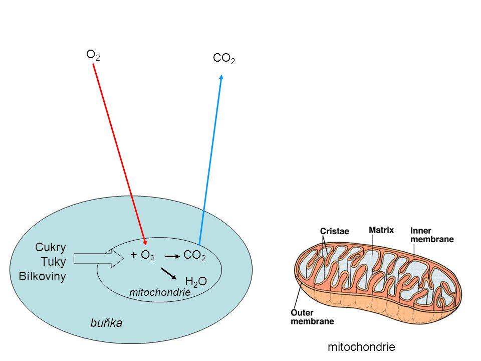 Cukry Tuky Bílkoviny buňka + O 2 CO 2 O2O2 CO 2 H2OH2O mitochondrie