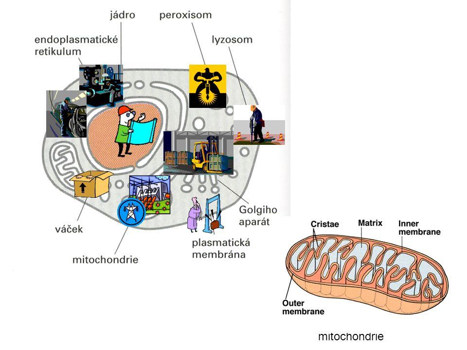 ATP syntetáza - nanorotor poháněný gradientem protonů