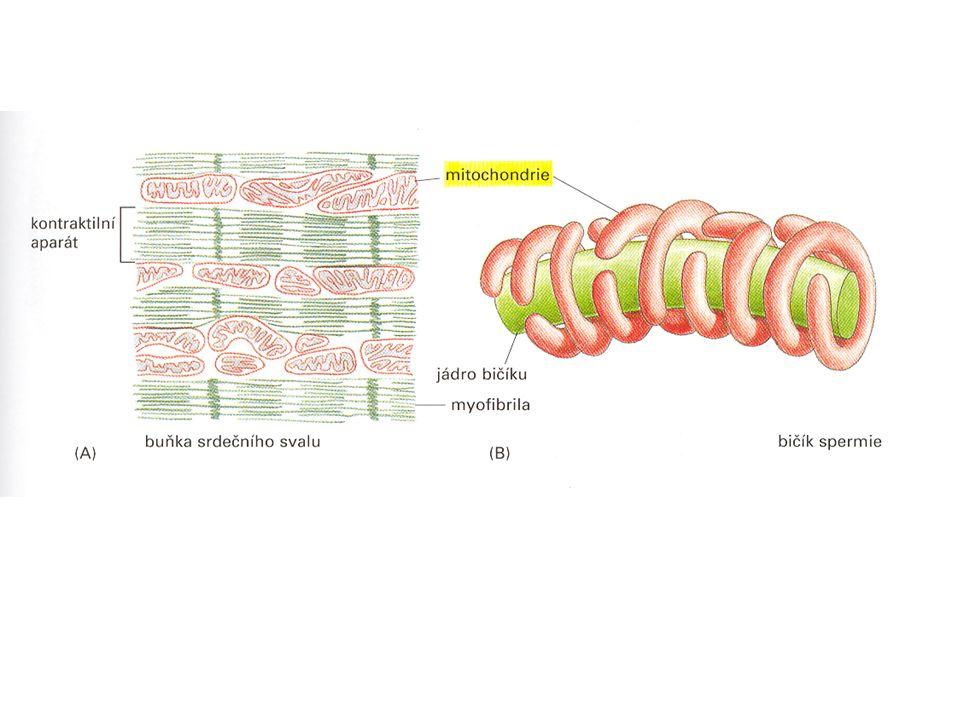 Expirace – zúžení bronchiolů při výdechu Zúžený bronchiolus (bronchokonstrikce, hlen…)
