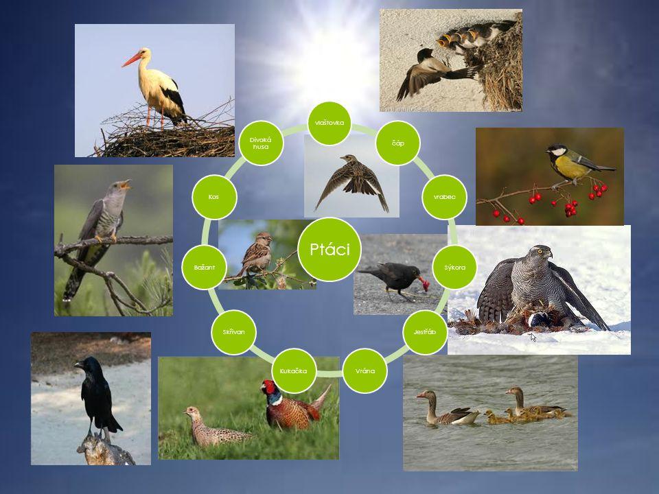 PTÁCI  Mají  Mláďata  Křídla  Ptáci stěhovavý  Ptáci stálý  - vrabec, sýkora, kos.