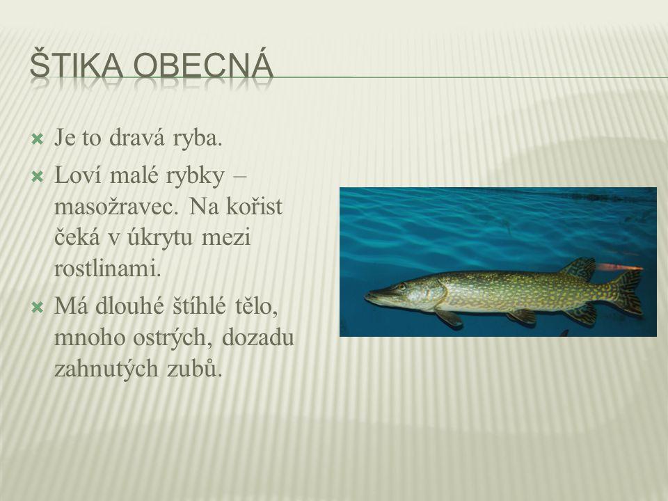  Je to dravá ryba.  Loví malé rybky – masožravec. Na kořist čeká v úkrytu mezi rostlinami.  Má dlouhé štíhlé tělo, mnoho ostrých, dozadu zahnutých