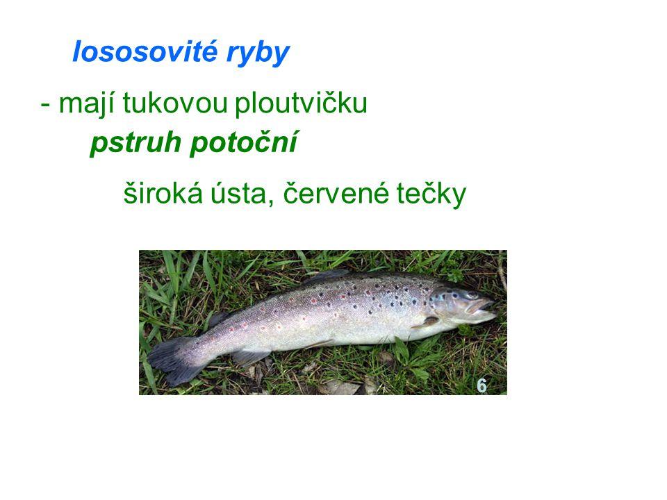 lososovité ryby - mají tukovou ploutvičku pstruh potoční široká ústa, červené tečky 6