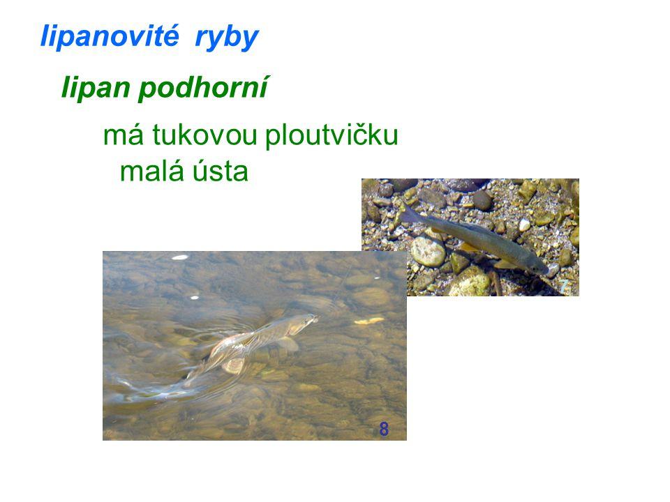 lipanovité ryby lipan podhorní má tukovou ploutvičku malá ústa 7 8