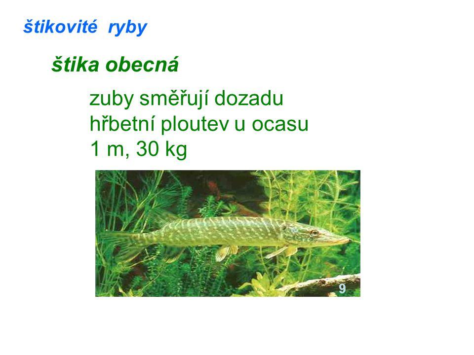 štikovité ryby štika obecná zuby směřují dozadu hřbetní ploutev u ocasu 1 m, 30 kg 9