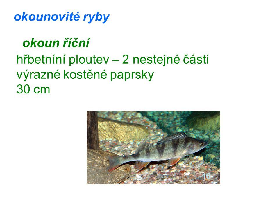 okounovité ryby okoun říční hřbetníní ploutev – 2 nestejné části výrazné kostěné paprsky 30 cm 10