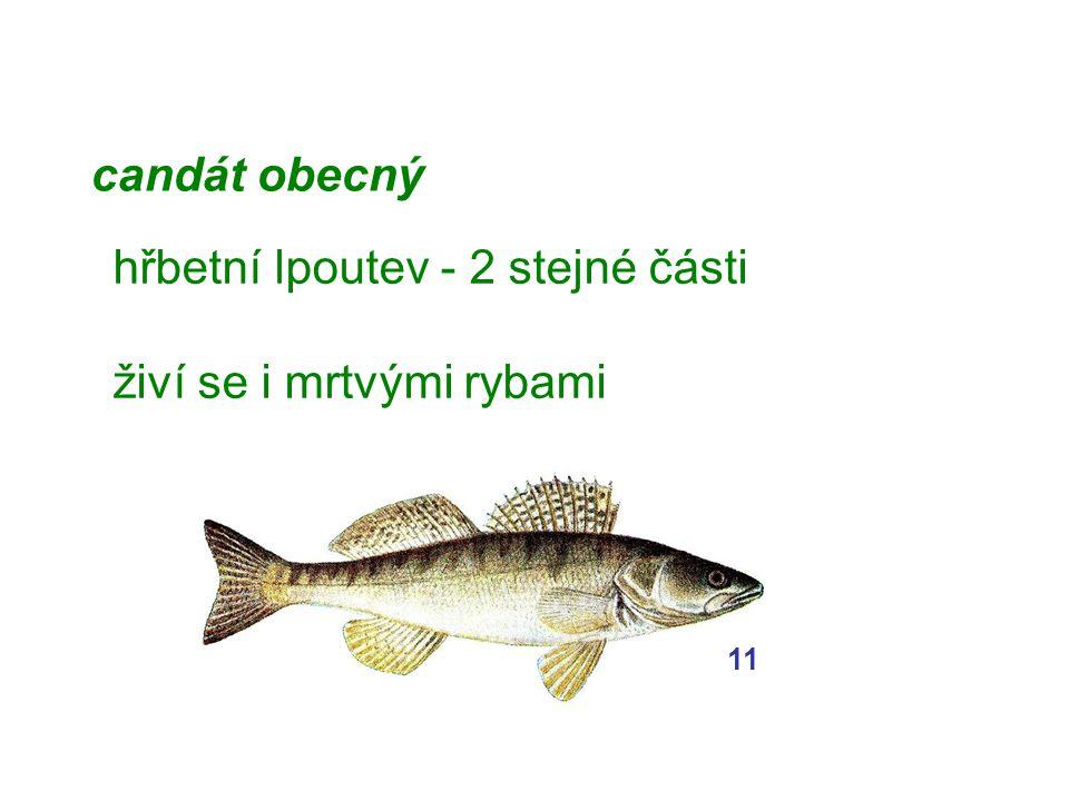 candát obecný hřbetní lpoutev - 2 stejné části živí se i mrtvými rybami 11