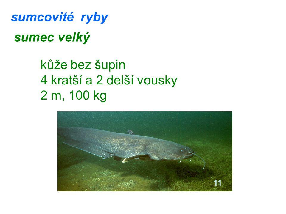 sumcovité ryby sumec velký kůže bez šupin 4 kratší a 2 delší vousky 2 m, 100 kg 11