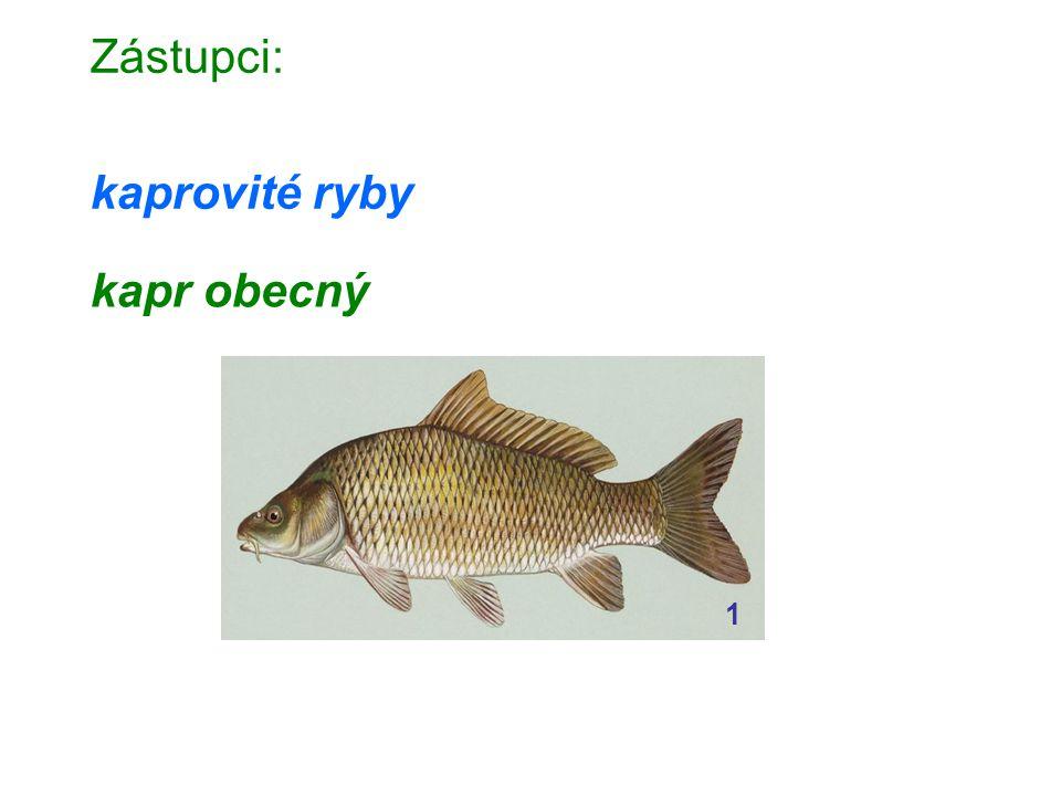 Zástupci: kaprovité ryby kapr obecný 1