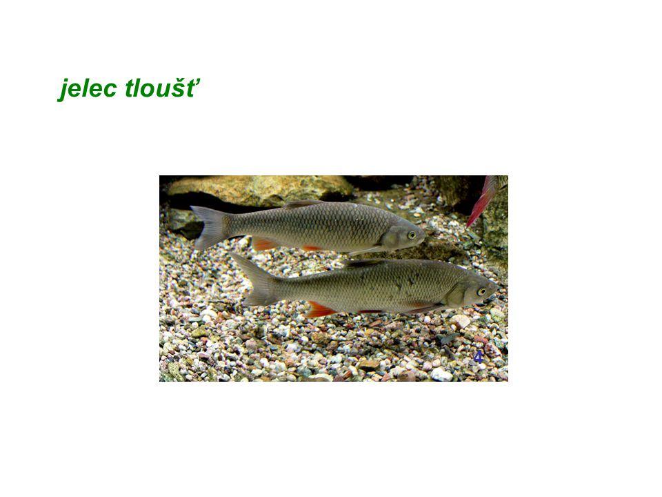 chov pstruhů = studenovodní rybníkářství umělé oplození vajíček (jiker) plůdek se vysazuje do potoků a řek