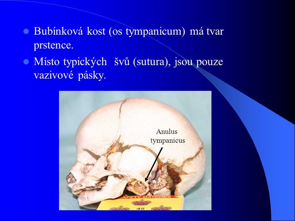 Bubínková kost (os tympanicum) má tvar prstence. Místo typických švů (sutura), jsou pouze vazivové pásky. Anulus tympanicus
