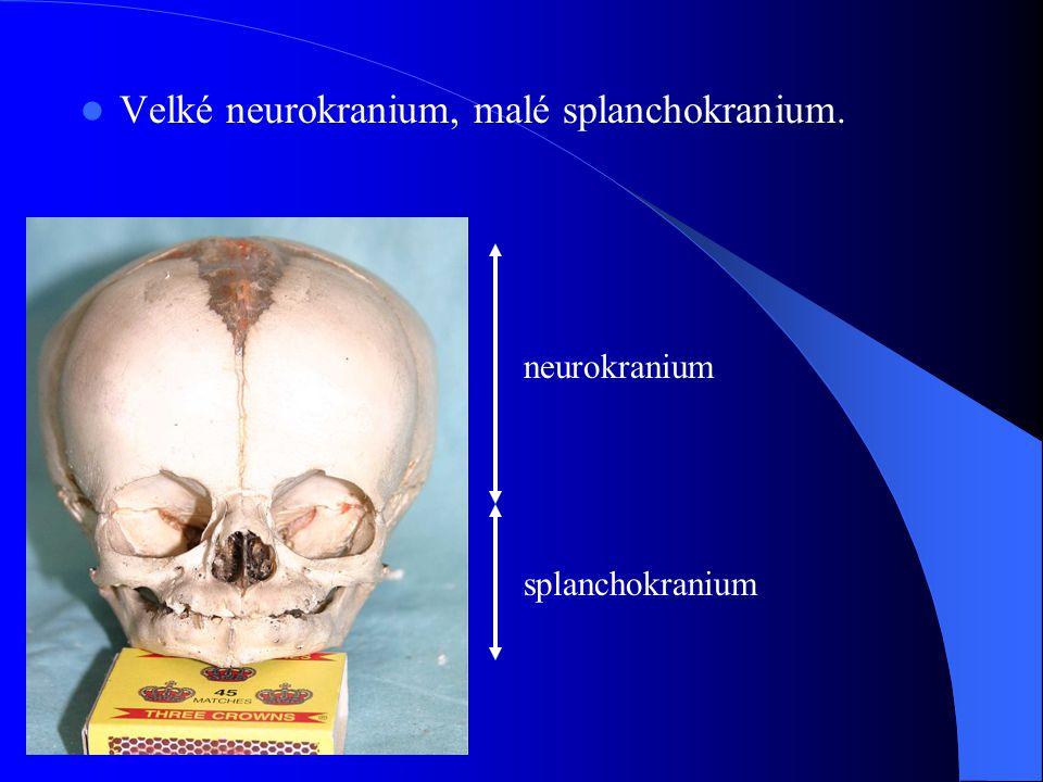 Velké neurokranium, malé splanchokranium. neurokranium splanchokranium