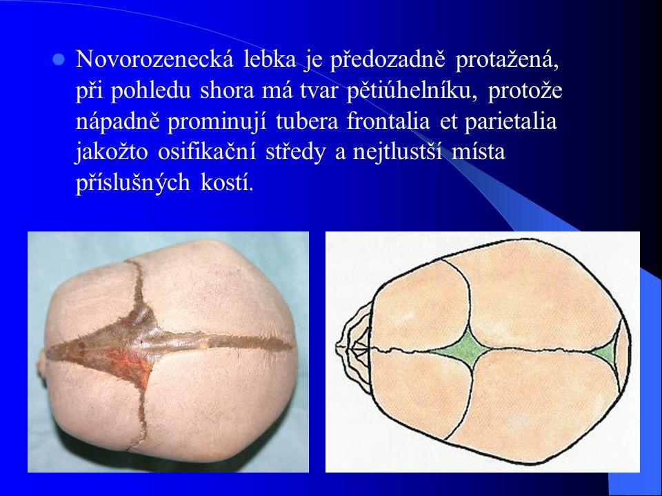 Novorozenecká lebka je předozadně protažená, při pohledu shora má tvar pětiúhelníku, protože nápadně prominují tubera frontalia et parietalia jakožto