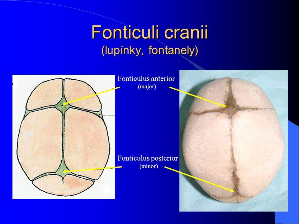Fonticuli cranii (lupínky, fontanely) Fonticulus anterior (major) Fonticulus posterior (minor)