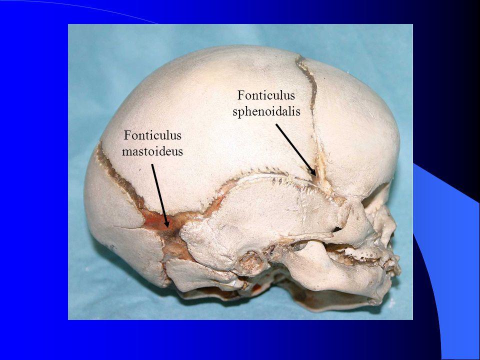 Fonticulus anterior et posterior jsou hmatné.