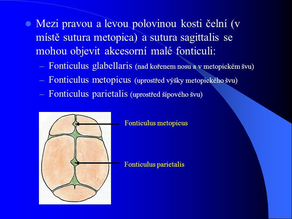 Mezi pravou a levou polovinou kosti čelní (v místě sutura metopica) a sutura sagittalis se mohou objevit akcesorní malé fonticuli: – Fonticulus glabel