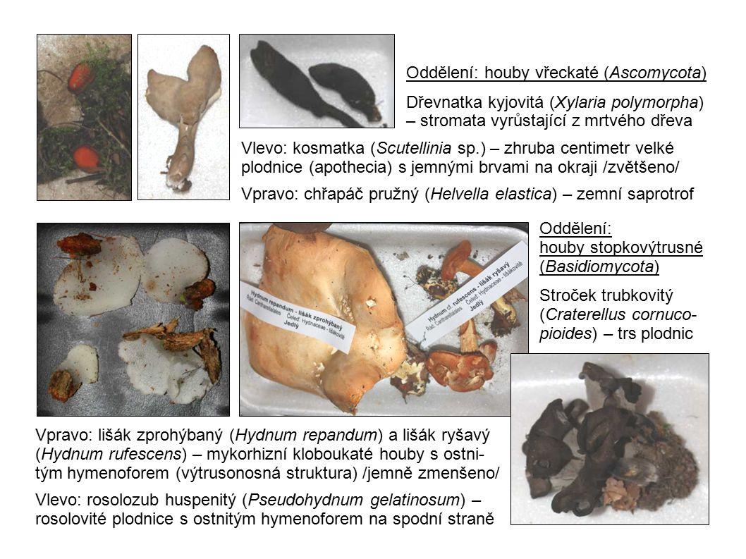 Vpravo: kuřátka (Ramaria sp.) Vlevo: kyj Herkulův (Clavaria- delphus pistillaris) – keříčkovité a kyjovité plodnice (holothecia) mají výtrusorodou vrstvu na povrchu Zleva: bělochoroš hořký (Postia stiptica), outkovka měkká (Datronia mollis) /jemně zvětšeno/, outkovka hrbatá (Trametes gibbosa) – dřevožijné houby tvořící bokem přirostlé nebo rozlité (Datronia) plodnice s póro- vitým hymenoforem, charakteristické postupným růstem