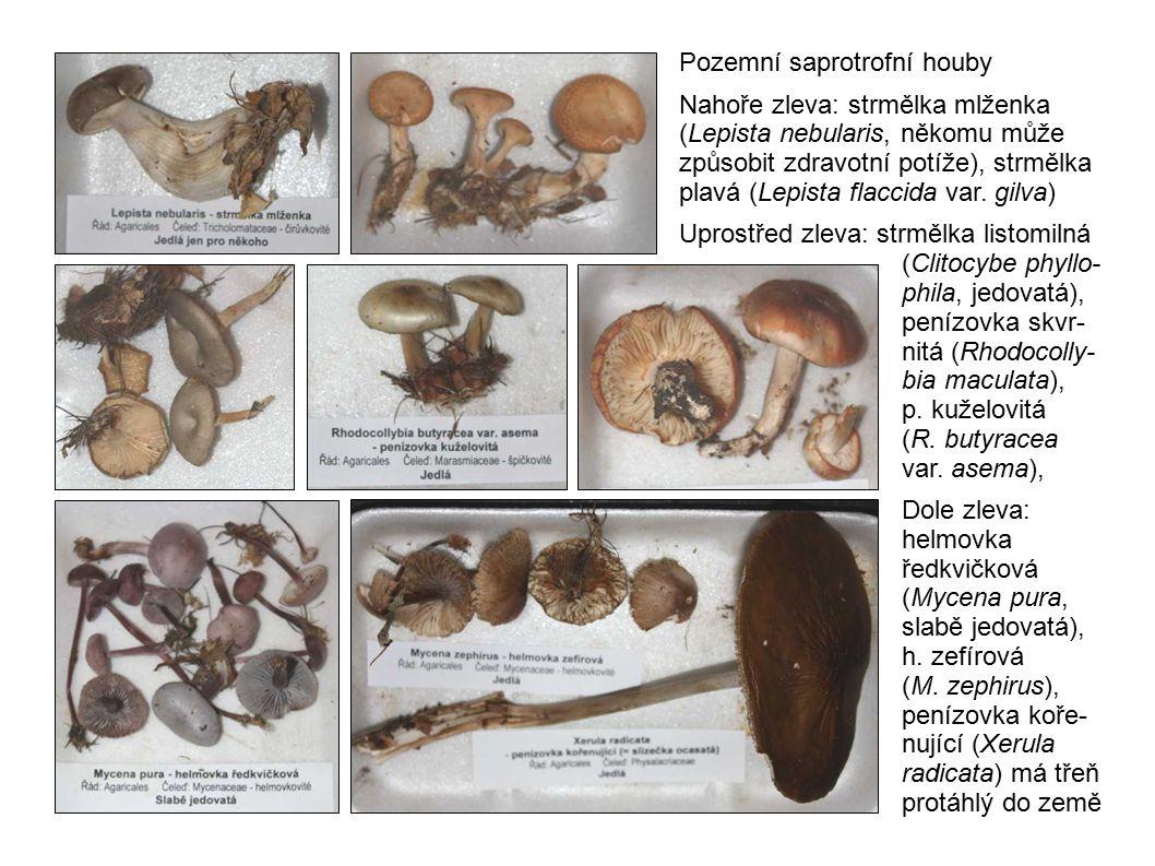 Pozemní saprotrofní houby Nahoře zleva: strmělka mlženka (Lepista nebularis, někomu může způsobit zdravotní potíže), strmělka plavá (Lepista flaccida