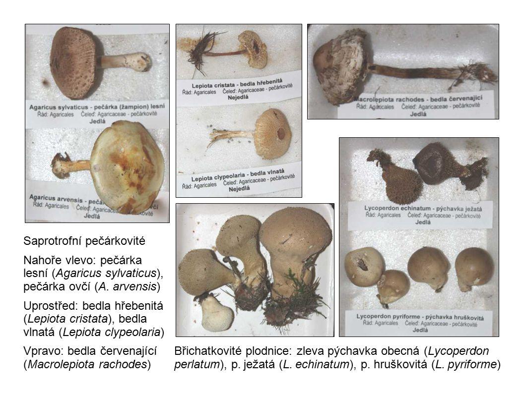 Saprotrofní pečárkovité Nahoře vlevo: pečárka lesní (Agaricus sylvaticus), pečárka ovčí (A. arvensis) Uprostřed: bedla hřebenitá (Lepiota cristata), b