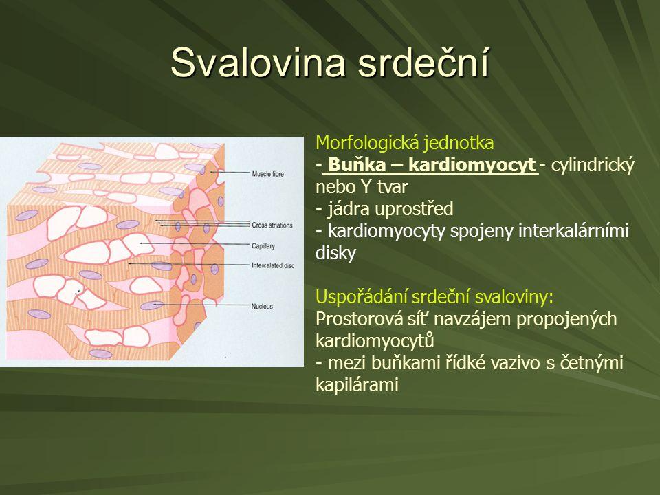 Svalovina srdeční Morfologická jednotka - Buňka – kardiomyocyt - cylindrický nebo Y tvar - jádra uprostřed - kardiomyocyty spojeny interkalárními disk