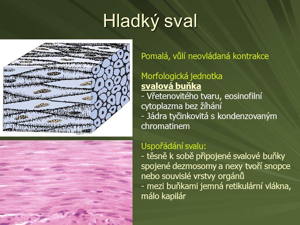 Hladký sval Pomalá, vůlí neovládaná kontrakce Morfologická jednotka svalová buňka - Vřetenovitého tvaru, eosinofilní cytoplazma bez žíhání - Jádra tyč