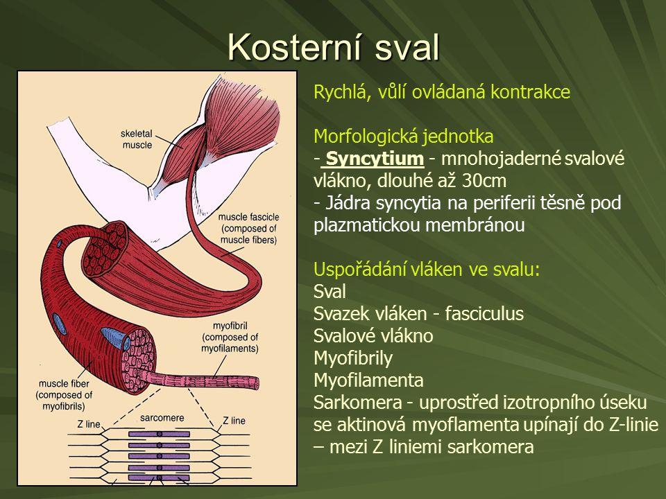 Kosterní sval Rychlá, vůlí ovládaná kontrakce Morfologická jednotka - Syncytium - mnohojaderné svalové vlákno, dlouhé až 30cm - Jádra syncytia na peri