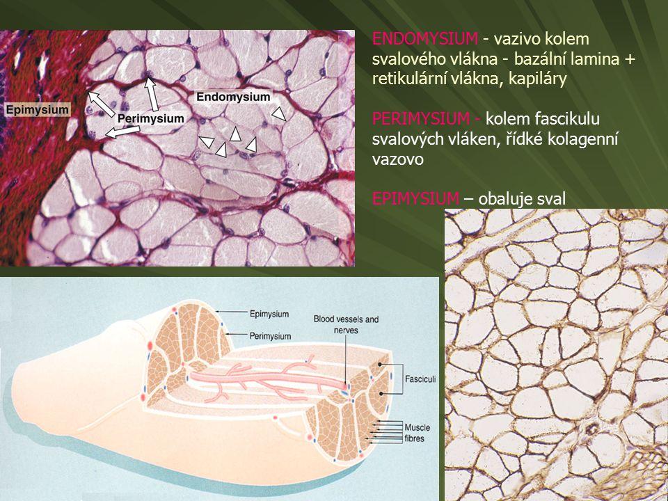 ENDOMYSIUM - vazivo kolem svalového vlákna - bazální lamina + retikulární vlákna, kapiláry PERIMYSIUM - kolem fascikulu svalových vláken, řídké kolage