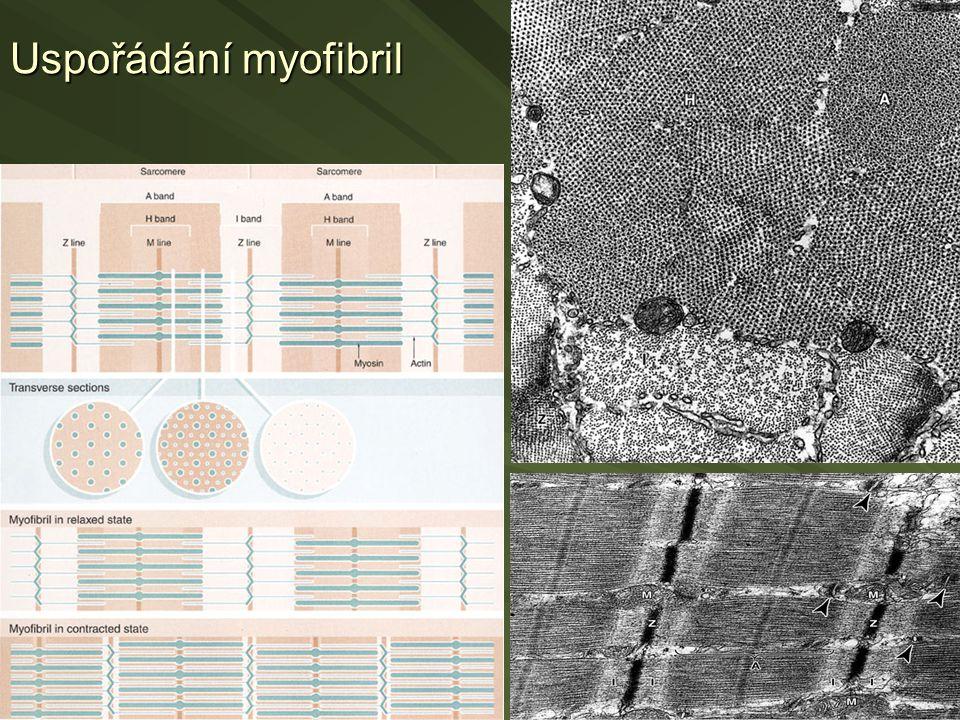 Uspořádání myofibril